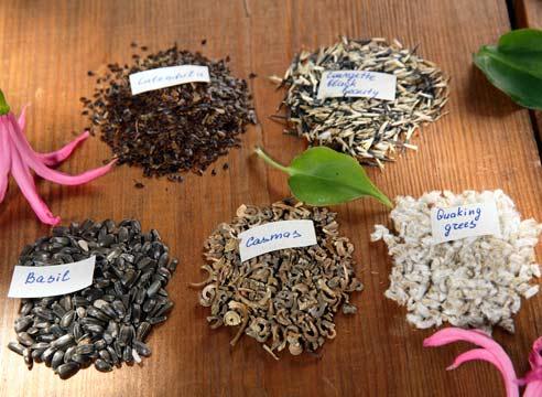семена мальвы как выглядят